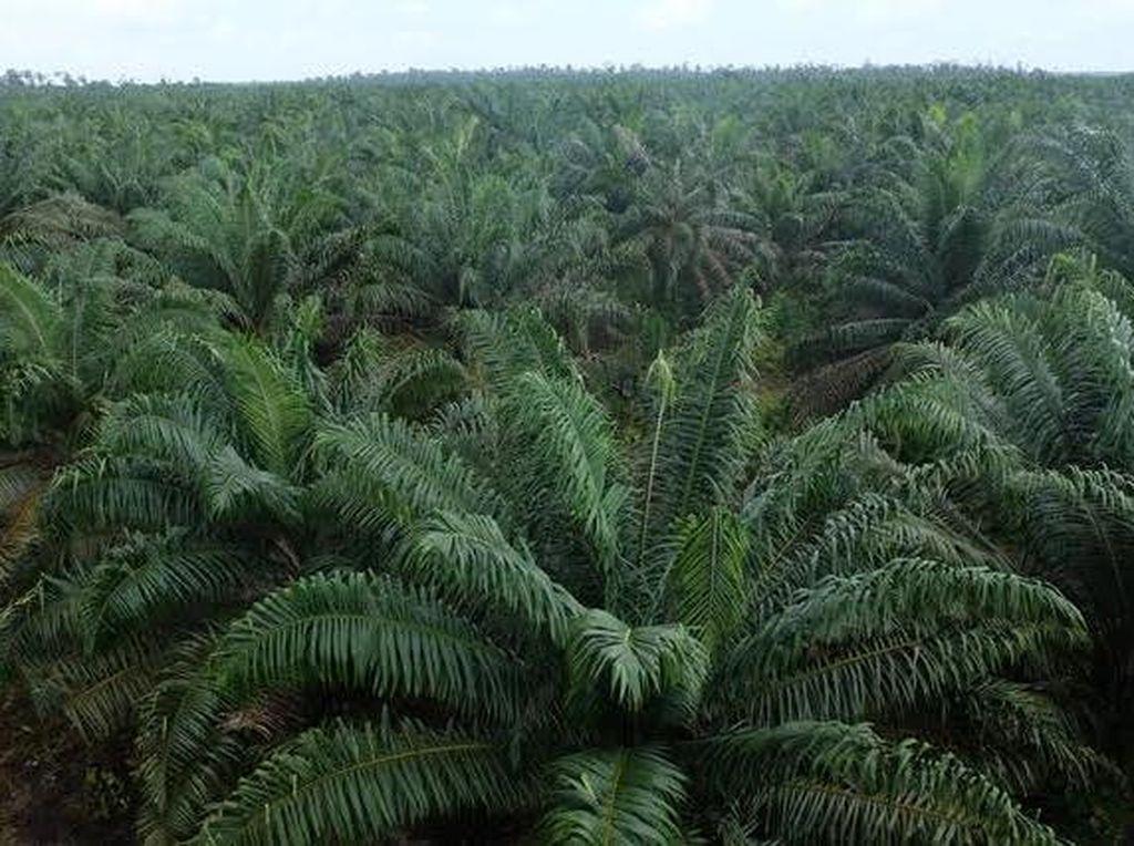 RI Dituduh Rusak Hutan Karena Kelapa Sawit, Luhut: Itu Tidak Benar