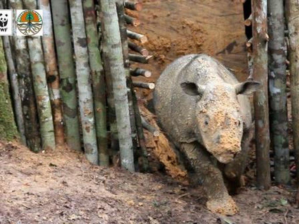 Gotong Royong Selamatkan Badak Sumatera