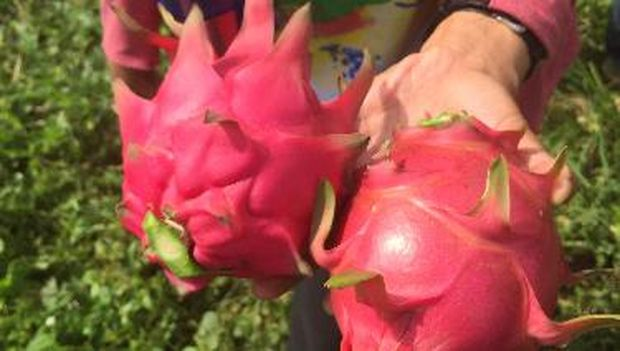 Ada dua macam buah naga yang kerap dijumpai di pasaran, buah naga merah (kiri) dan buah naga putih (kanan), yang ukurannya lebih besar.