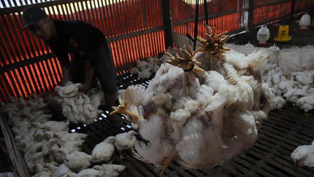 Flu burung mulai menghantui Eropa
