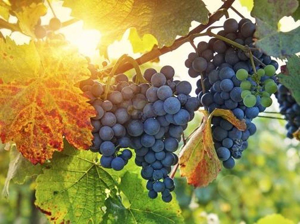 Konsumsi Anggur Bantu Kurangi Risiko Alzheimer
