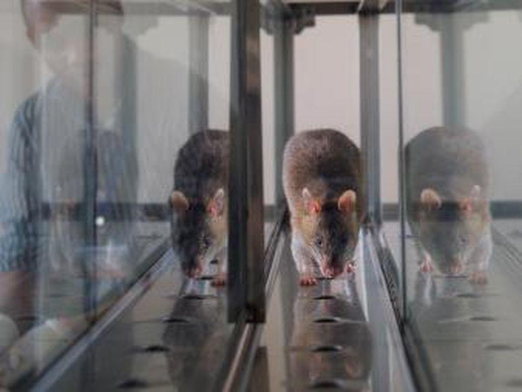 Misterius, Belasan Warga di Hong Kong Tertular Hepatitis dari Tikus