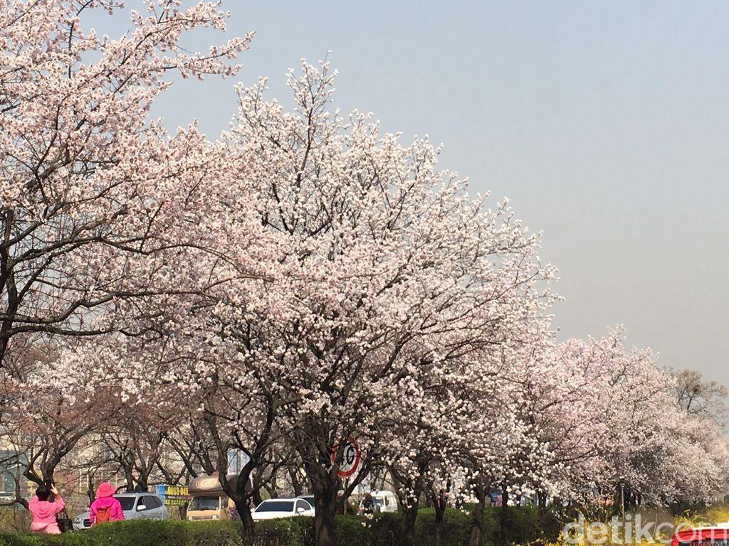 Wisata 7 Hari Lihat Sakura Mekar di Korea Mulai Rp 9,6 Juta di GATF