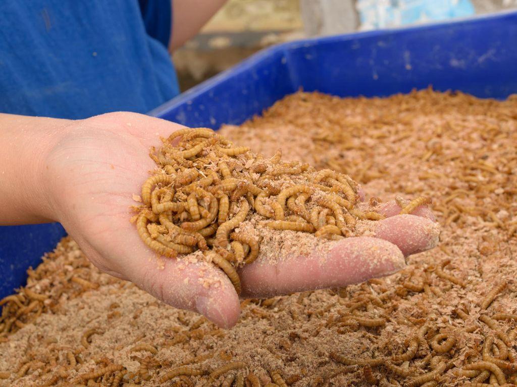 Tak Kalah dari Semut Jepang, Ulat Hong Kong Bisa Bersihkan Limbah Plastik