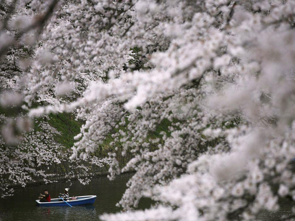 Ahok Mau ke Jepang? Ini Jadwal Mekar Sakura Tahun Ini