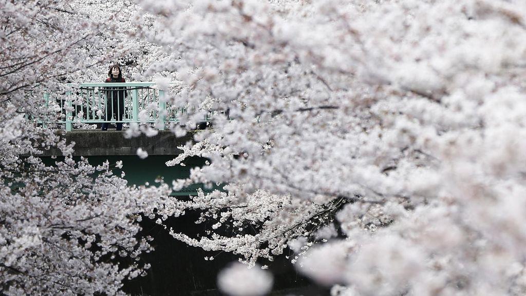 Menikmati Indahnya Sakura Mekar