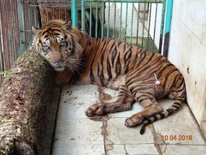 Rama, Harimau Sumatera Koleksi KBS Mati Akibat Sakit Jantung