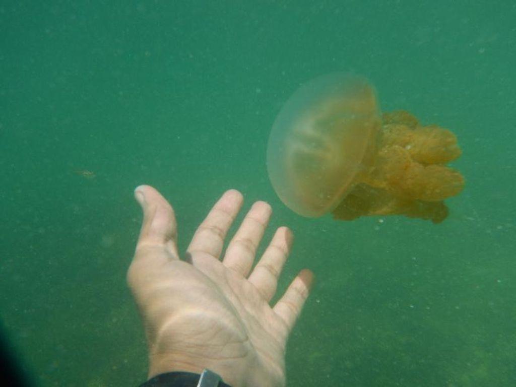 Laguna Perawan & Ubur-ubur Tak Menyengat di Kakaban
