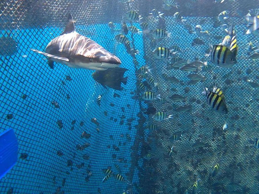 Wisata Bawah Laut Banyuwangi, Bisa Diving Bareng Hiu Seperti di Maldives