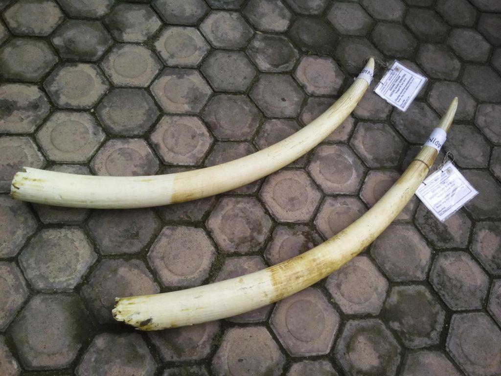 Bawa 2 Gading Gajah, Warga Aceh Ditangkap Polisi