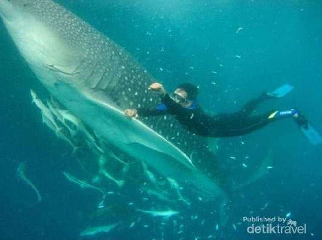 Lihat Ikan Terbesar di Dunia Enggak Perlu Datang ke Habitatnya