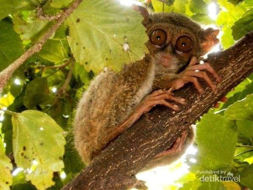 Bersua Tarsius di Taman Nasional Tangkoko Bitung