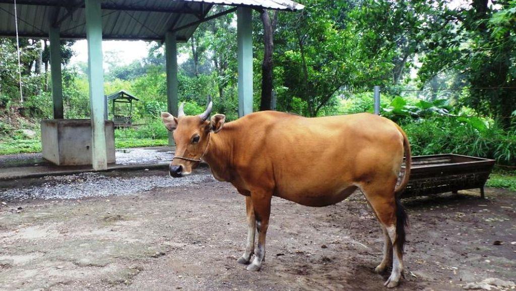 Kementan Sebar Bibit Sapi Perah di Pulau Jawa