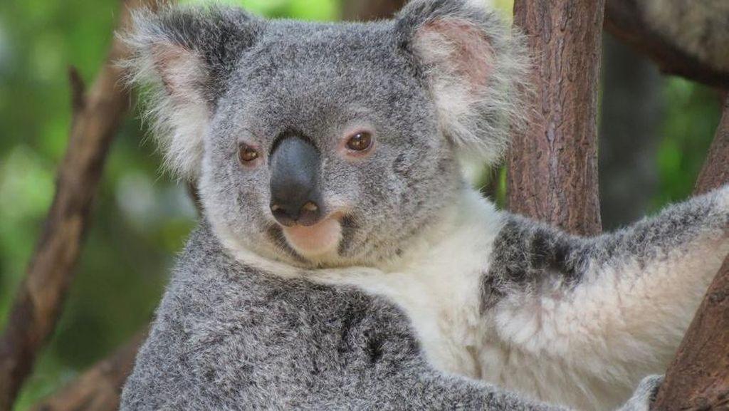 Menerawang Langkah Jerman di Piala Eropa bersama Oobi-Ooobi si Koala