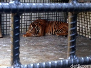 Harimau Sumatra Ditemukan Mati di Labuhanbatu Utara Sumut
