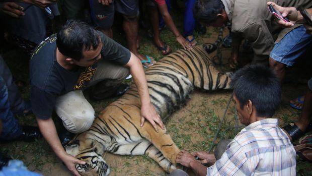 Petugas memeriksa kondisi seekor harimau Sumatera yang sudah dibius, di kawasan perbukitan Timbulun Aia Tajun, Nagari Sungai Liku, Sumatera Barat, 2016.