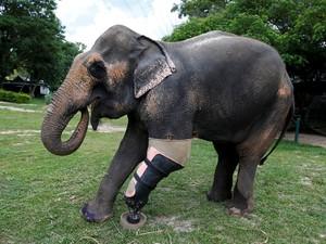 Motola, Gajah Berkaki Palsu