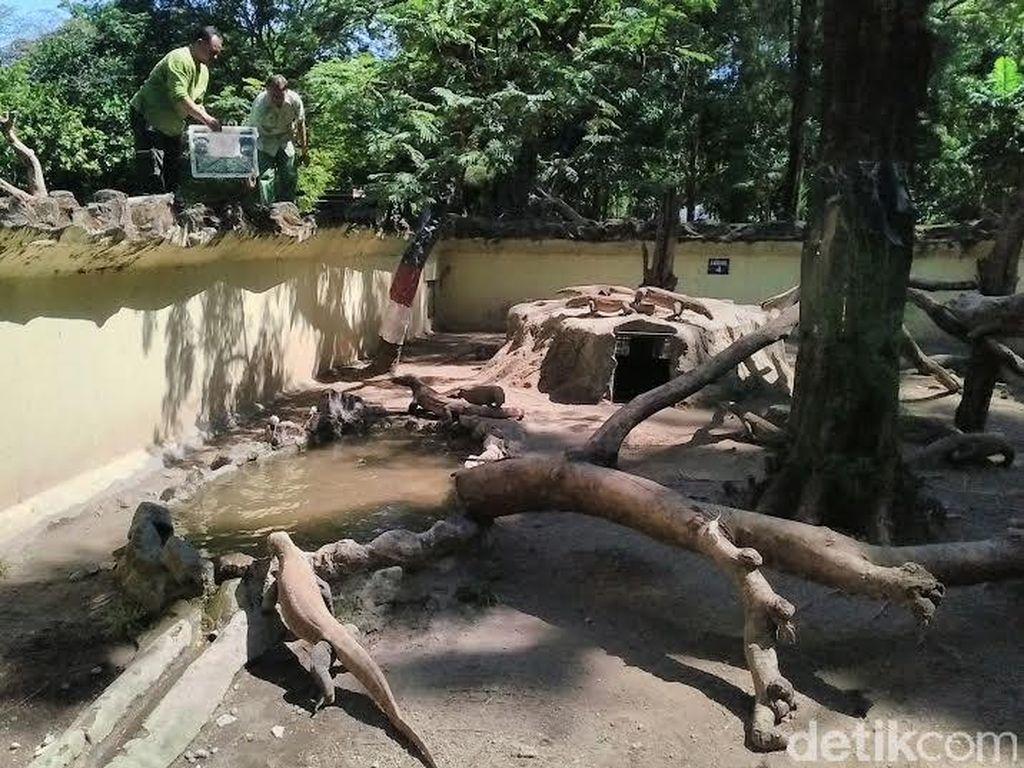 Libur Lebaran di KBS, Pengunjung Disuguhi Komodo dan Harimau Makan Siang