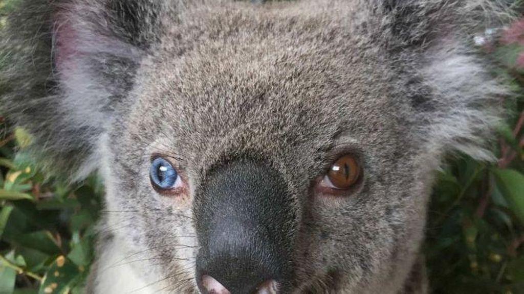 Koala Langka Berbeda Warna Mata Ditemukan di Brisbane