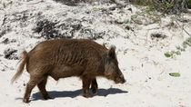 Babi Hutan Masuk Mal di Kagawa, 5 Orang Alami Luka Gigit