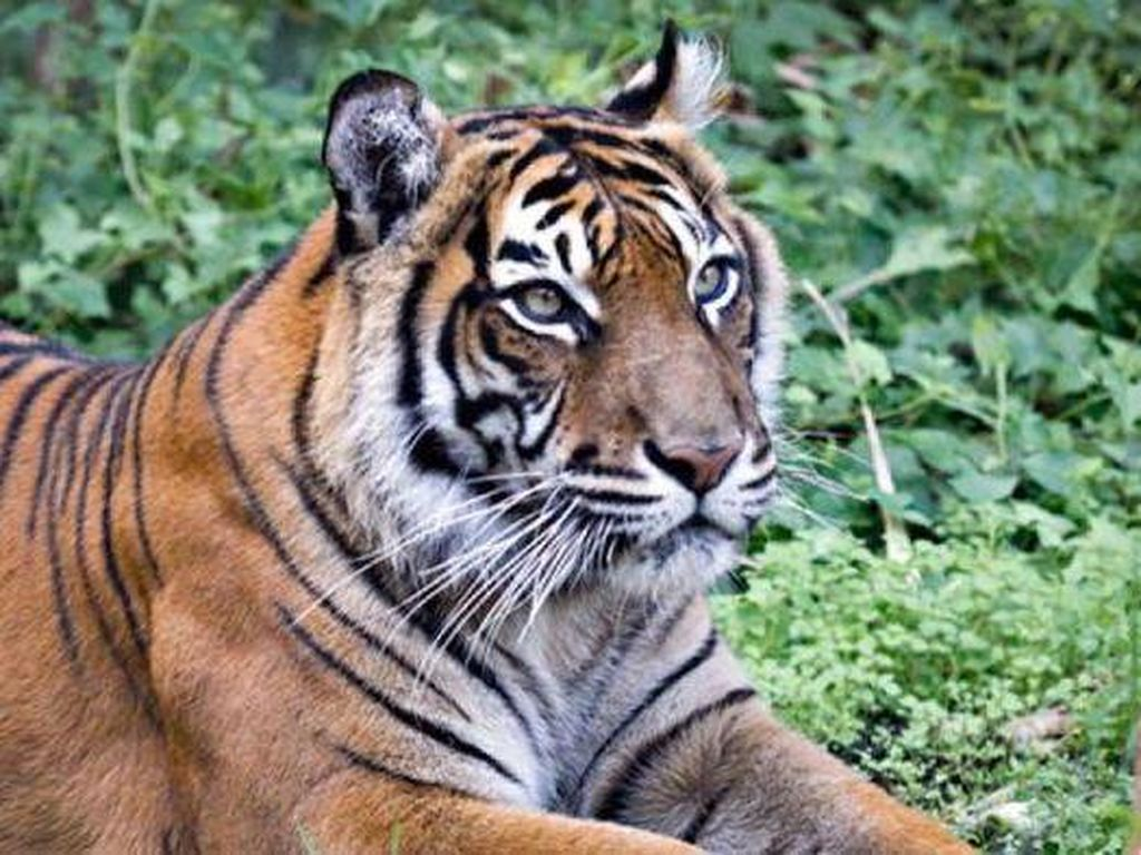 BBKSDA Riau Duga Korban Terkaman Harimau di Inhil Pembalak Liar