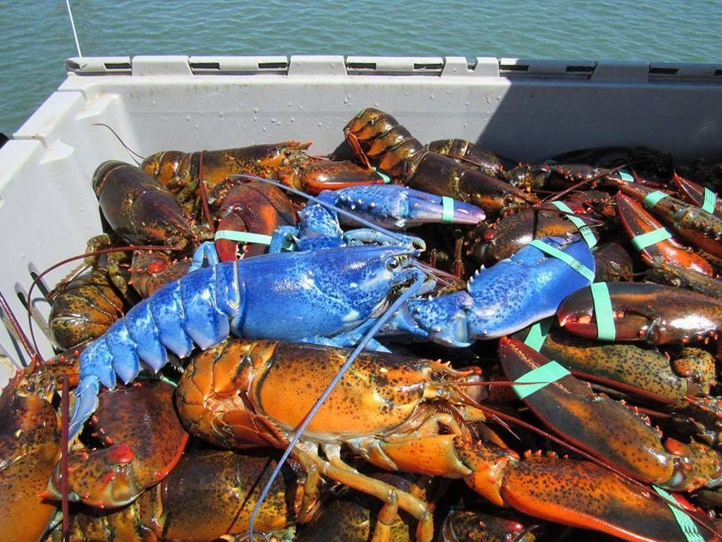 Lobster Biru yang Sangat Langka Kembali Tertangkap di Massachusettes
