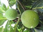 Seribu Pohon Sukun Ditanam di Kepulauan Seribu