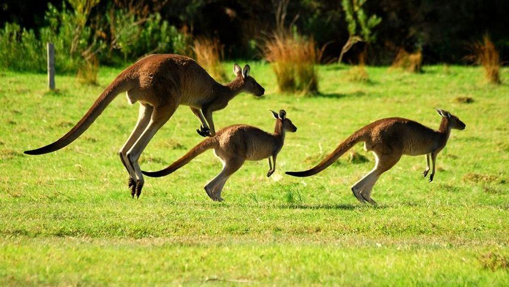 Bolehkah Konsumsi Daging Kanguru dalam Islam?