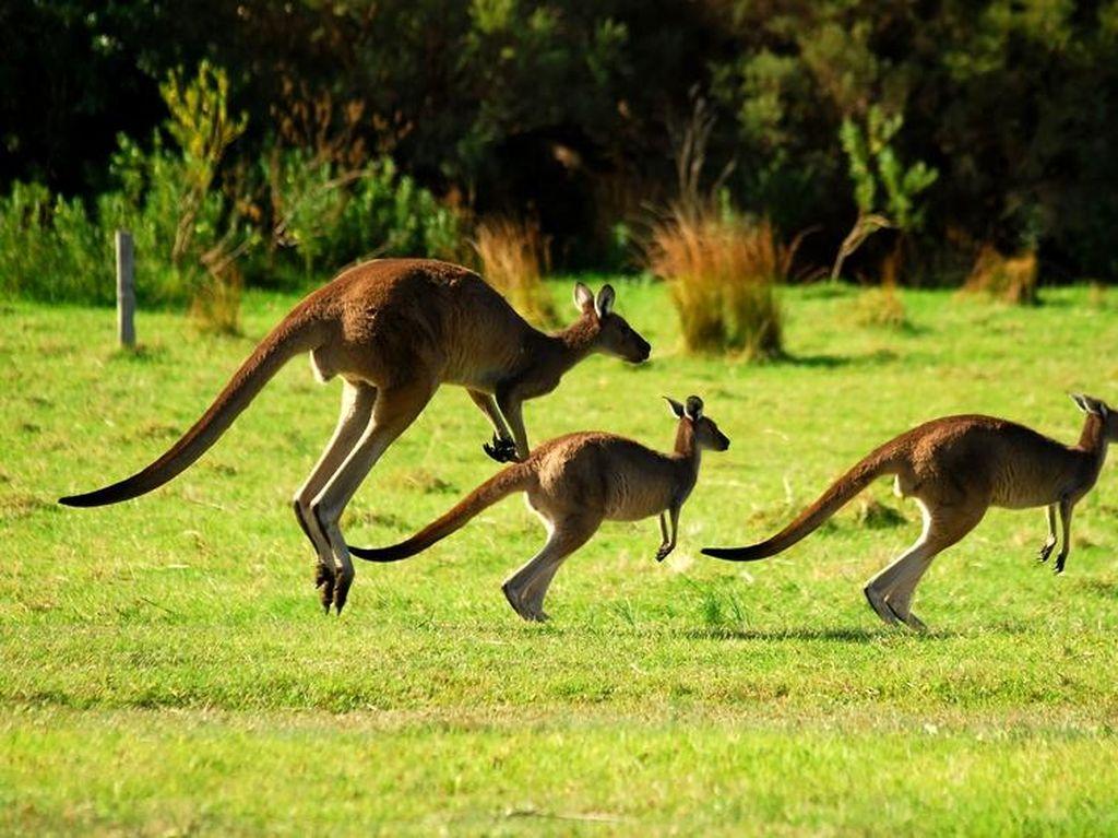 Kanguru Santuy Lompat-Lompat di Pusat Kota Adelaide