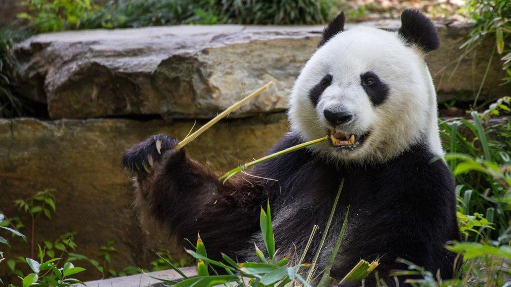 Taman Nasional Khusus Panda Akan Dibangun di China