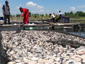 Keracunan Massal, Ratusan Ton Ikan di Keramba Waduk Kedungombo Mati