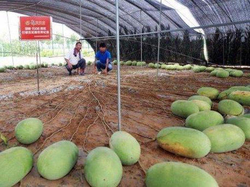 Dalam Sekali Panen, Pohon Semangka Ini Hasilkan 131 Buah Sekaligus