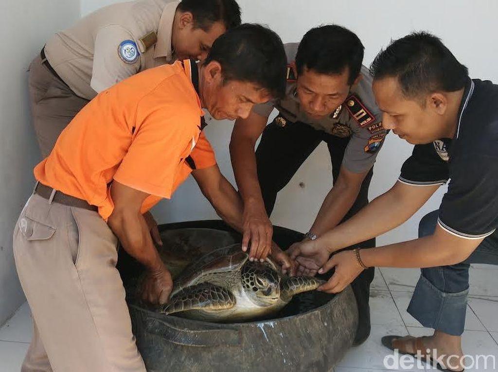 Pengiriman Penyu Hijau ke Pulau Bali Digagalkan