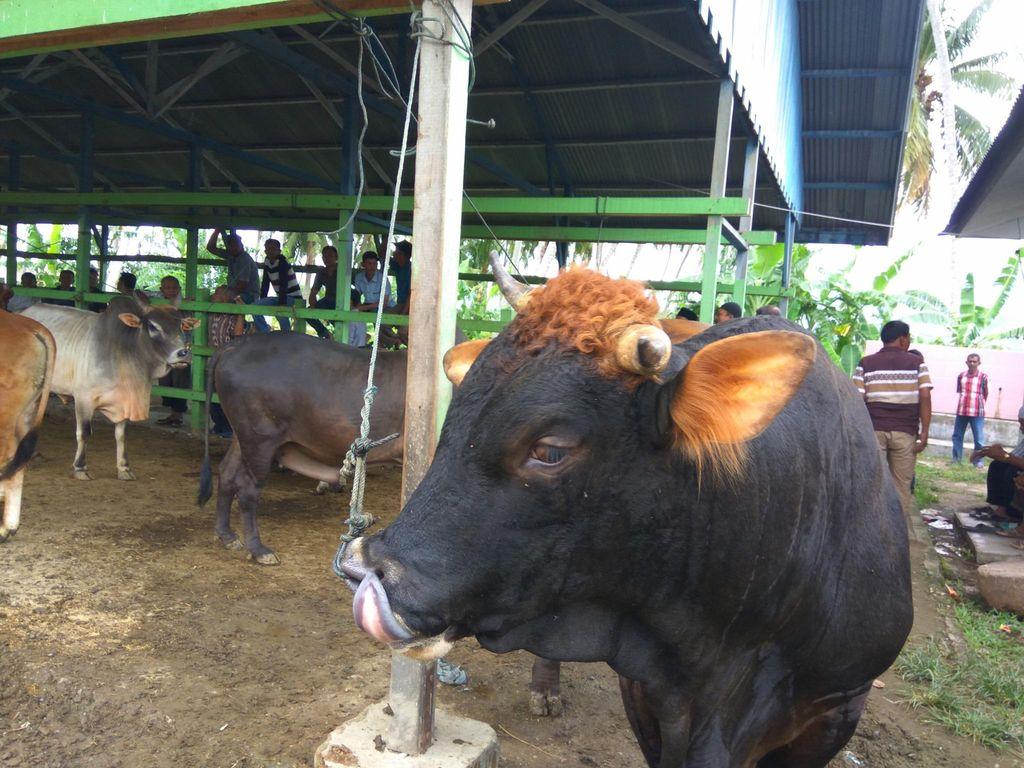 Jelang Idul Adha, Harga Sapi di Aceh Rp 6 Juta-Rp 60 Juta/Ekor