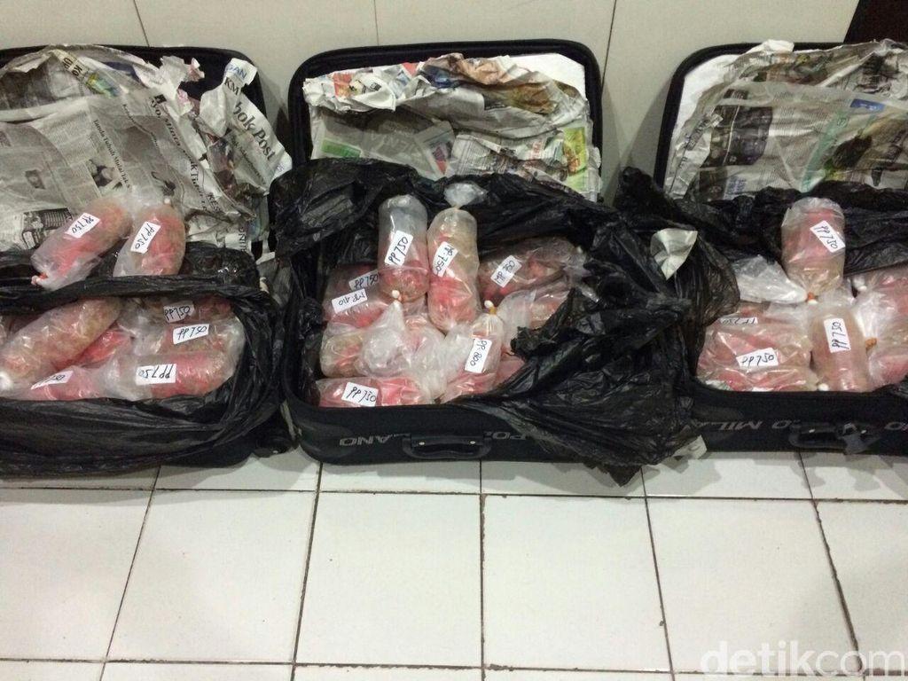 Susi: Satu Koper Benih Lobster Selundupan Bernilai Rp 1,5 Miliar