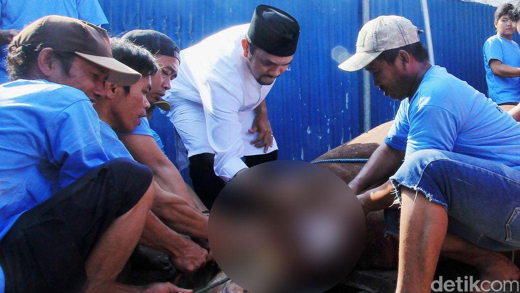Anggota DPR Ahmad Sahroni Kurban 15 Ekor Sapi