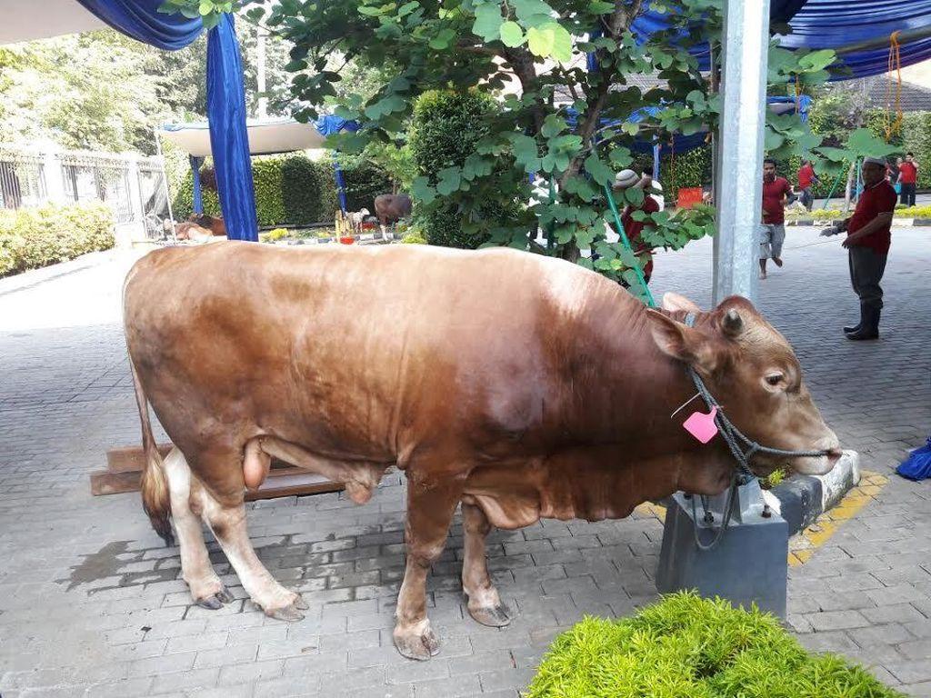 Kejar Target Swasembada, Sapi-sapi Raksasa Perlu Dikembangkan di RI