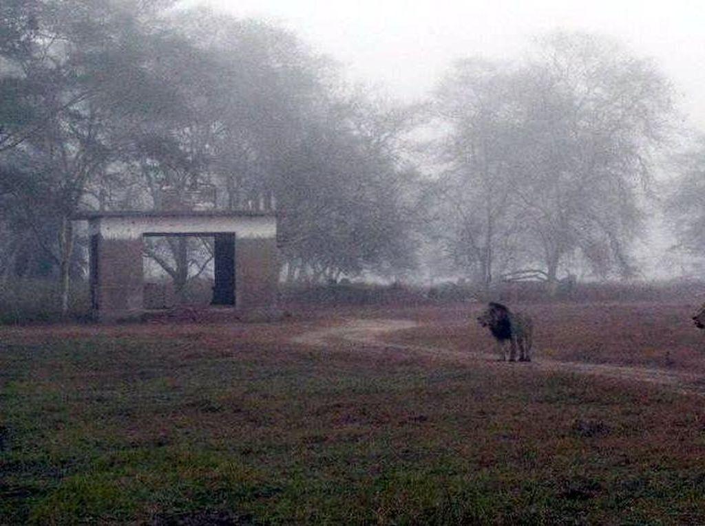 Kisah Rumah yang Dikuasai Kawanan Singa di Taman Nasional Afrika