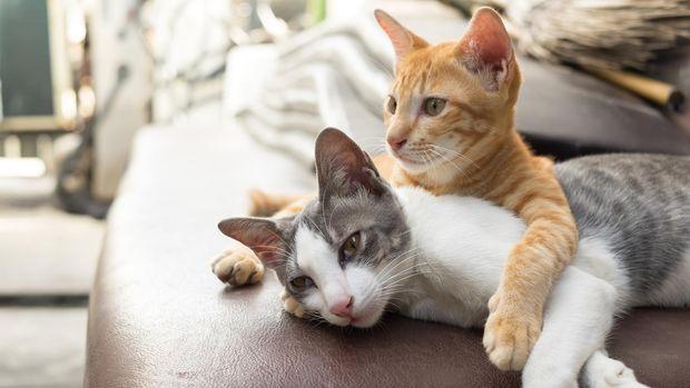 ilustrasi kucing, bulunya jadi salah satu pemicu dermatitis atopik/