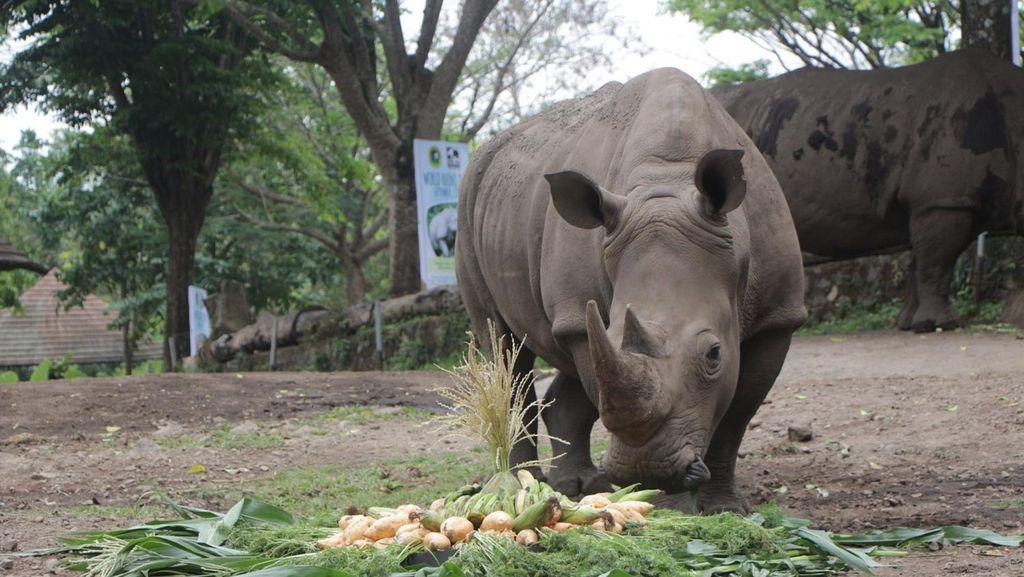 Sambut Hari Badak Sedunia, Ada Tumpeng Hingga Lomba Mewarnai di Taman Safari