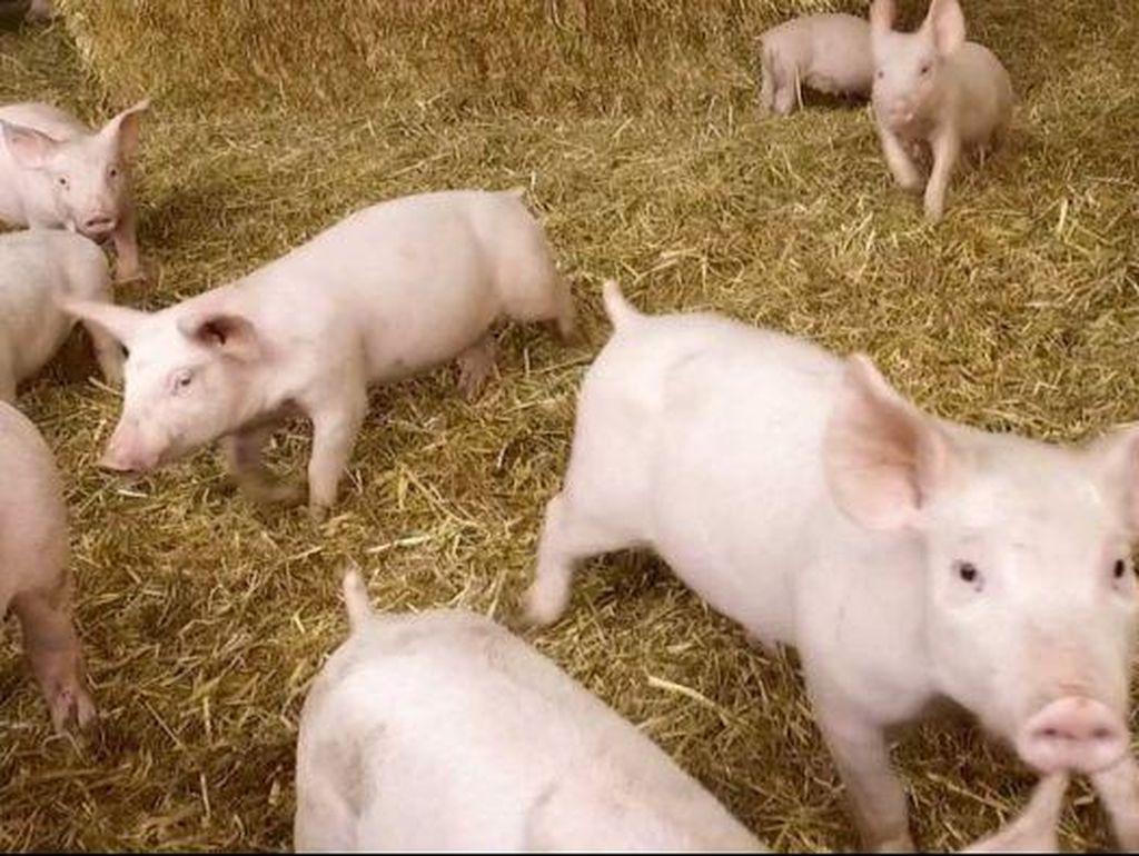 Penjelasan Kementan Soal Anggaran Pengadaan Babi Rp 9 Juta/Ekor