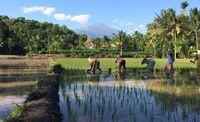 Kegiatan bersawah di desa saja sudah jadi daya tarik bagi wisatawan (Ahmad Masaul Khoiri/detikTravel)