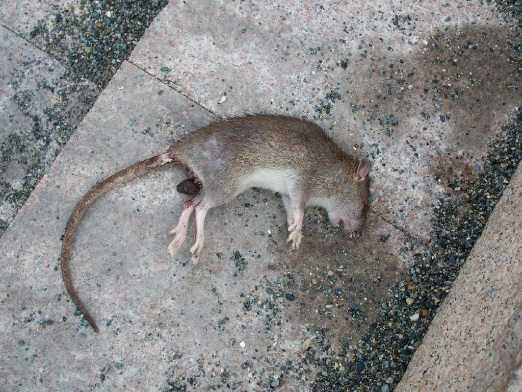 Perlu Tahu! Aneka Penyakit pada Manusia yang Disebabkan oleh Tikus