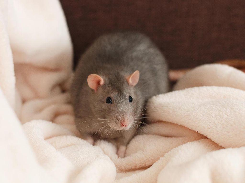 Kelakuan! Turis Manfaatkan Tikus dan Hamster demi Menginap Gratis
