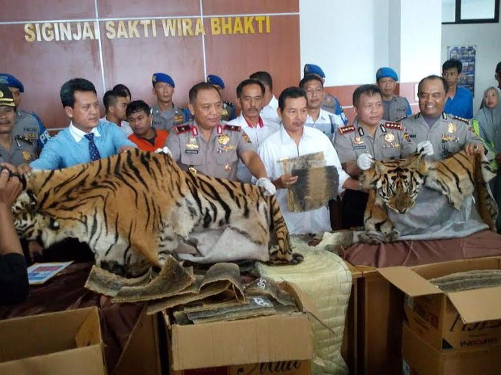 Polisi Bekuk Pelaku Perdagangan Kulit Harimau dan Buaya di Jambi
