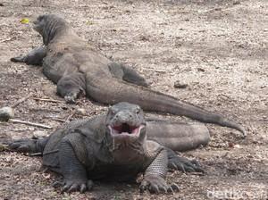 Komodo, Si Leluhur dan Kanibal