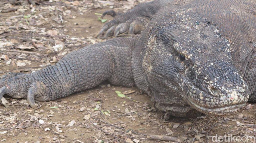 Kalau Sayang Nyawa, Jangan Lakukan Ini di Pulau Komodo