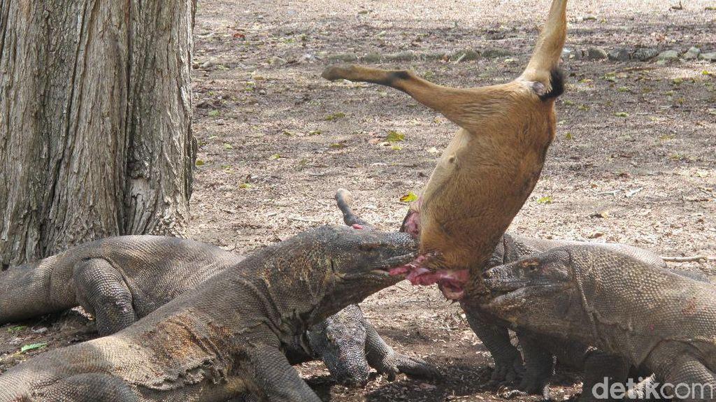 Foto Langka: Komodo Sedang Melahap Mangsa