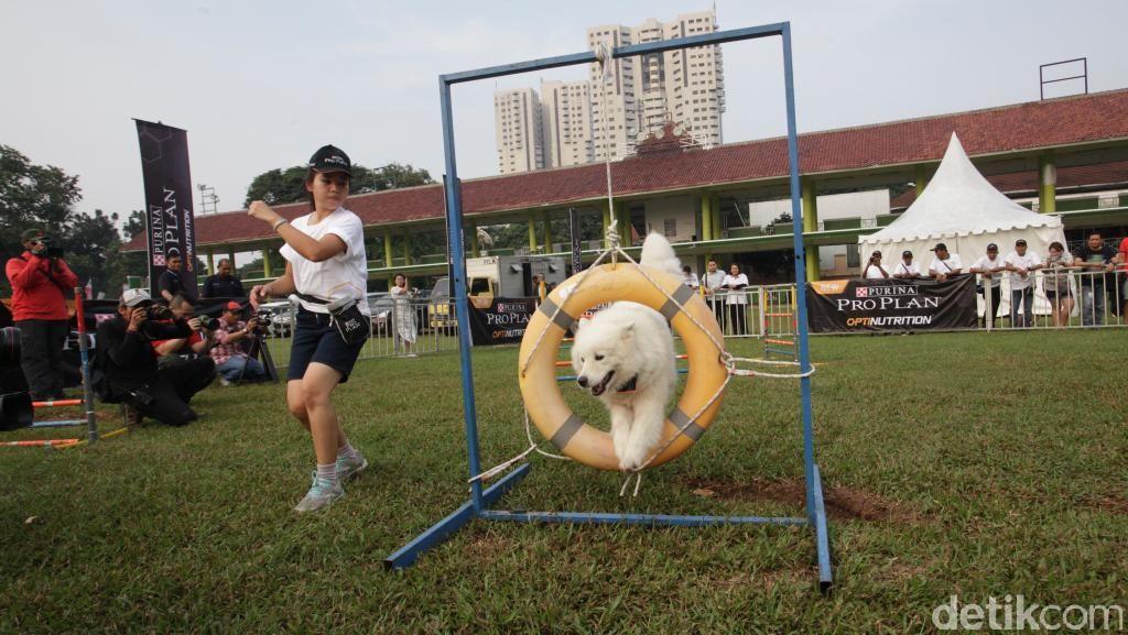 Intip Keseruan Bermain Sambil Melatih Ketangkasan Anjing