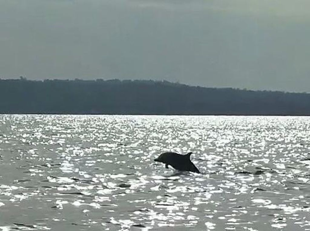 Lumba-lumba Muncul yang Bikin Girang Anak-anak di Pulau Seribu